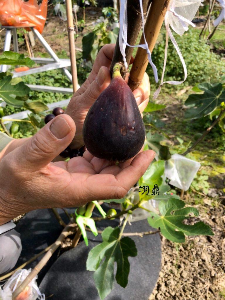黑紫色成熟果實又大又甜